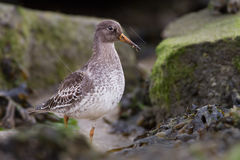 Purple Sandpiper ( Calidris maritima ) Royalty Free Stock Images