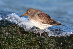 Purple Sandpiper (Calidris maritima) Stock Image