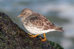 Purple Sandpiper Calidris maritima. By the Atlantic ocean Royalty Free Stock Images
