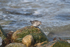 Purple Sandpiper (Calidris maritima) Royalty Free Stock Photos