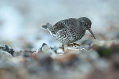 A Purple Sandpiper Calidris maritima searching for food on the shoreline just after the sun has set for the day. Royalty Free Stock Photo