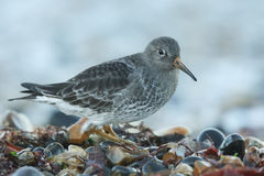 A Purple Sandpiper Calidris maritima searching for food on the shoreline just after the sun has set for the day. Royalty Free Stock Image