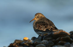 Purple Sandpiper Calidris maritima searching for food on the shoreline in the last of the days sunlight. Royalty Free Stock Images