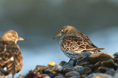 Purple Sandpiper Calidris maritima searching for food on the shoreline in the last of the days sunlight. Stock Photos