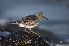 Purple sandpiper, Calidris maritima Royalty Free Stock Image