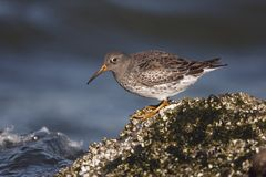Purple sandpiper, Calidris maritima Stock Photo