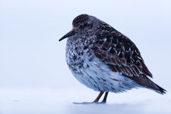Purple sandpiper Stock Image