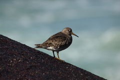 Purple Sandpiper Royalty Free Stock Photo