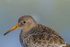 Purple Sandpiper close-up Stock Images