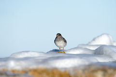 Purple Sandpiper frozen rocks Cape Cod Royalty Free Stock Image
