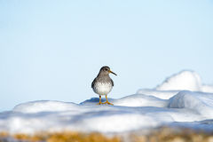 Purple Sandpiper on icy rock on Cape Cod Royalty Free Stock Photo