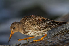 Purple Sandpiper in Lithuania Stock Photo