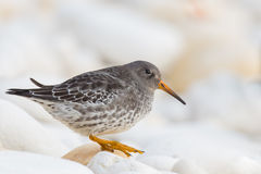 Purple Sandpiper on a rock Royalty Free Stock Photos
