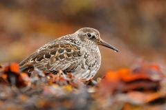 Purple Sandpiper Stock Photos