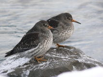Purple sandpiper sitting on rocks in the freezing water. Northern Norway in winter. Royalty Free Stock Images