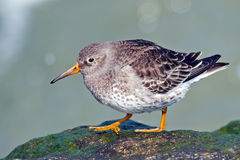 Purple Sandpiper Royalty Free Stock Images