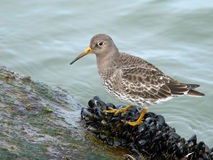 Purple Sandpiper Stock Photo