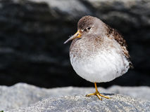 Purple Sandpiper Royalty Free Stock Photography
