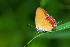 Purple Sapphire butterfly Royalty Free Stock Images