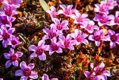 Purple saxifrage blossoming Royalty Free Stock Image