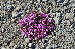 Purple Saxifrage Saxifraga oppositifolia flowering on the tundra in summer. Russia Stock Photography