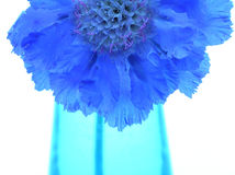 Purple scabiosa in blue vase Royalty Free Stock Images