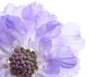 Purple scabiose stock photo