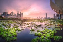 Business district and Marina bay in Singapore. Purple scenic sunset over skyline of downtown district of Marina bay and lilies in the foreground, Singapore Royalty Free Stock Image