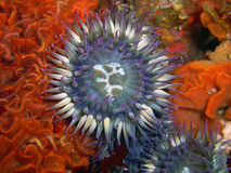 Purple Sea Anemone surrounded by Fluted Bryozoan. Purple Sea Anemone sounded by Fluted Bryozoan and Spiny Brittle Stars found off of central California's Channel royalty free stock image