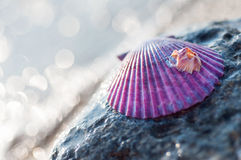 Purple sea shell Stock Image