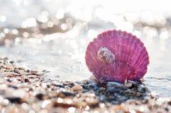 Purple sea shell Stock Images