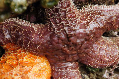 Purple sea star exposed by low tides Royalty Free Stock Image