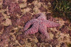 Purple sea star exposed by low tides Stock Image