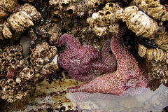 Purple sea star exposed by low tides Royalty Free Stock Photos