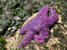 Purple Sea Star in the Sunshine Stock Images