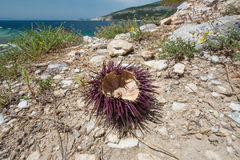Purple sea urchin on a beach. Stock Image