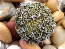 Purple Sea urchin Royalty Free Stock Image