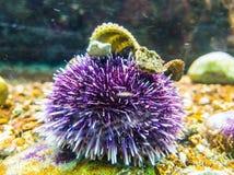Purple sea urchin royalty free stock photo