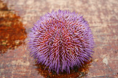 Purple sea urchin Royalty Free Stock Images