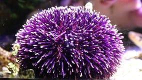Purple Sea Urchin underwater stock video