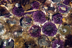 Purple sea urchins Royalty Free Stock Photo