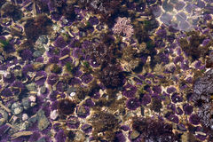 Purple sea urchins Stock Image