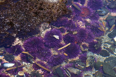 Purple sea urchins in tidepool Stock Photo