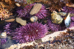 Purple sea urchins in tidepool Stock Images