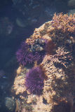 Purple sea urchins in tidepool Royalty Free Stock Photo