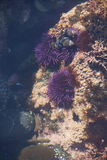 Purple sea urchins in tidepool Stock Image