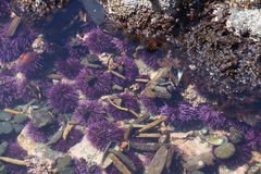 Purple sea urchins in tidepool Stock Photos