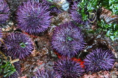 Purple Sea Urchins Royalty Free Stock Photos