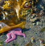 Purple seastar under sea weed Royalty Free Stock Photos