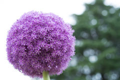Purple Sensation Allium in bloom Stock Photo